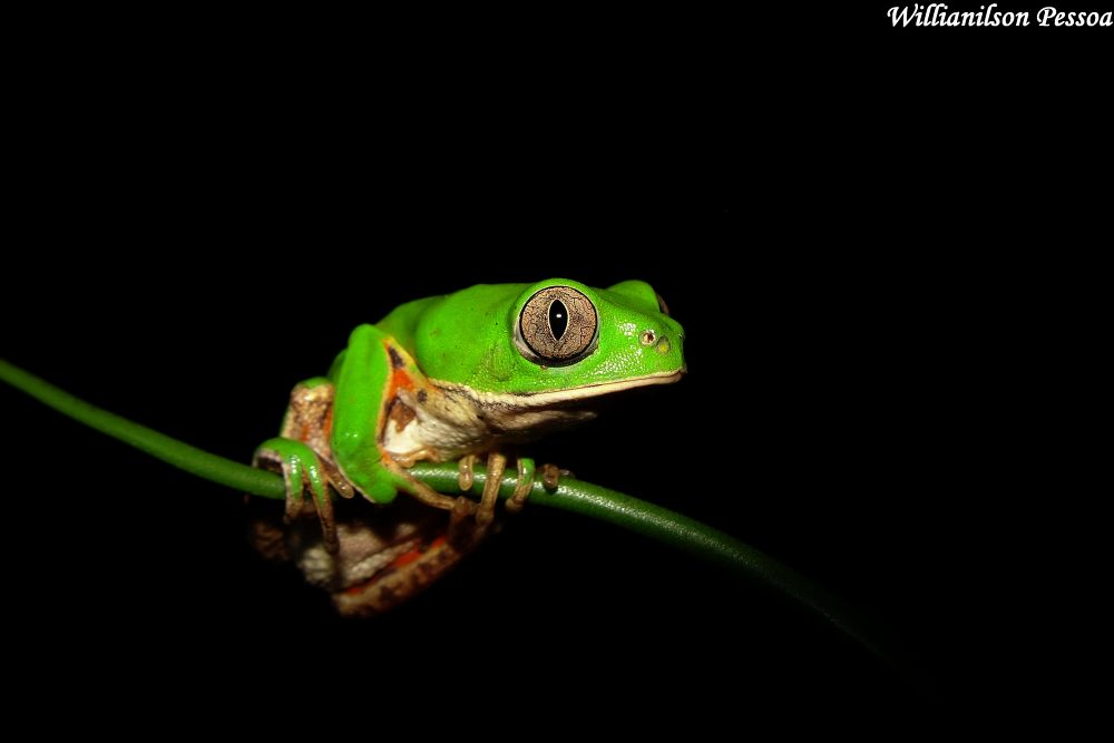 Green frog by Willianilson Pessoa