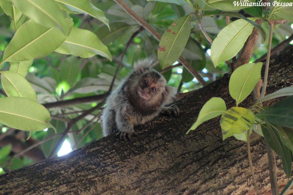 Sagui monkey (Callithrix jacchus) by Willianilson Pessoa