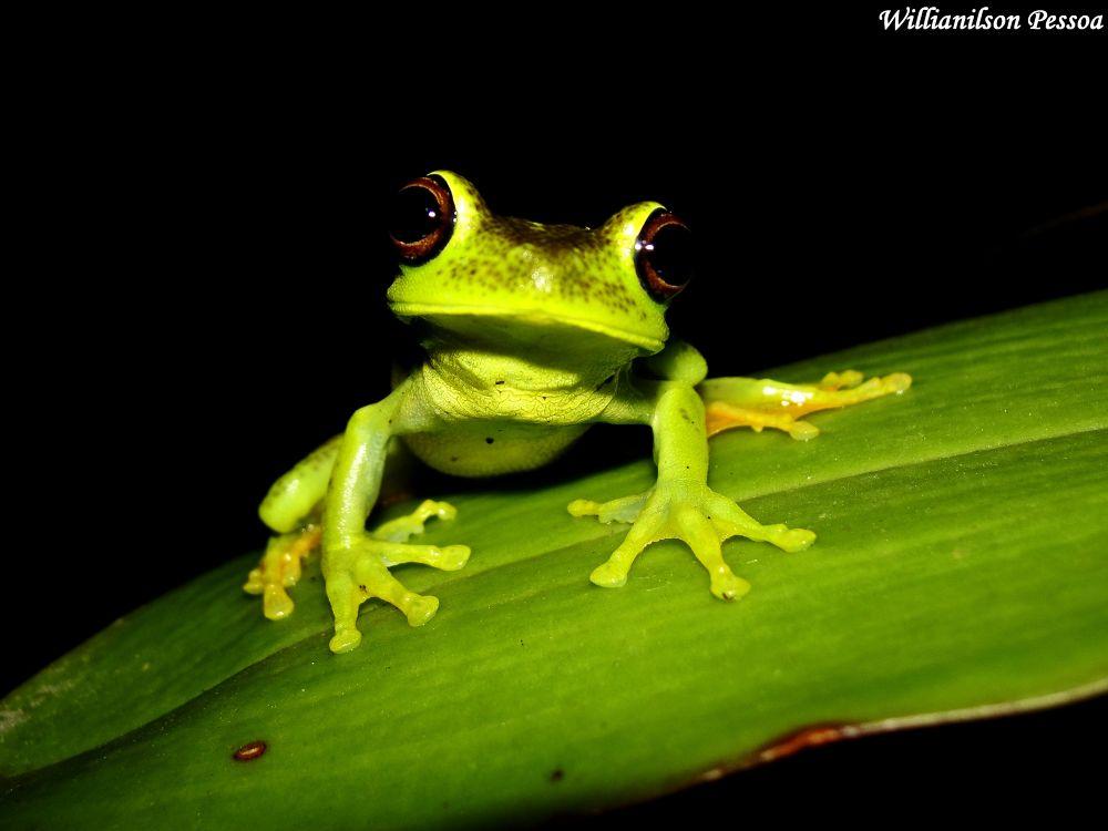 Green Frog (Hypsiboas albomarginatus) by Willianilson Pessoa