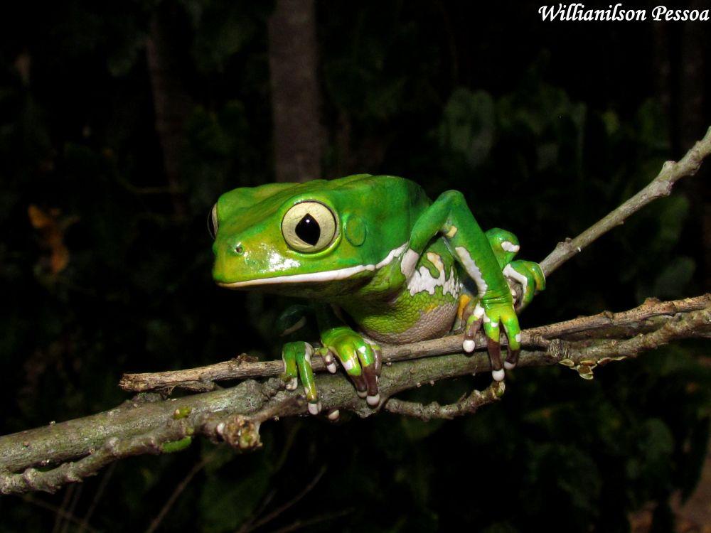 Monkey Frog (Phyllomedusa bahiana) by Willianilson Pessoa