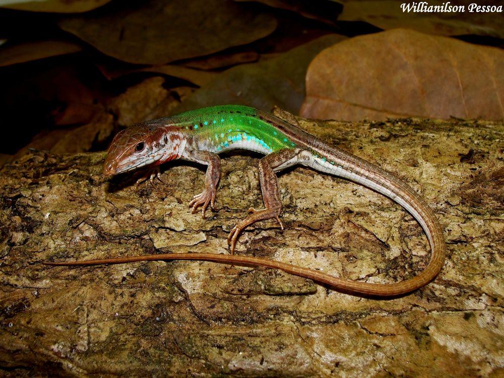 Green Lizard (Cnemidophorus ocellifer) by Willianilson Pessoa
