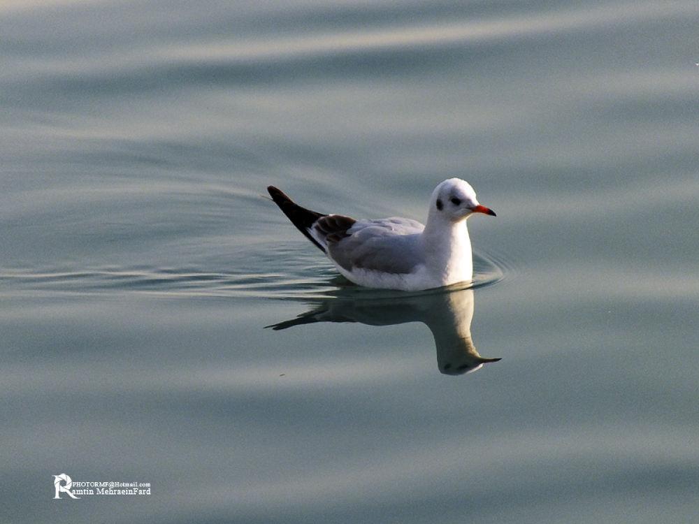 egret by Ramtin MehraeenFard