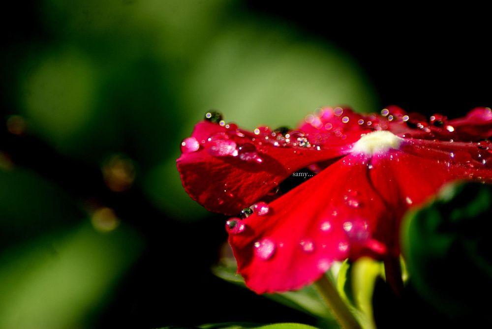 morning drops.. by samanvayabhat
