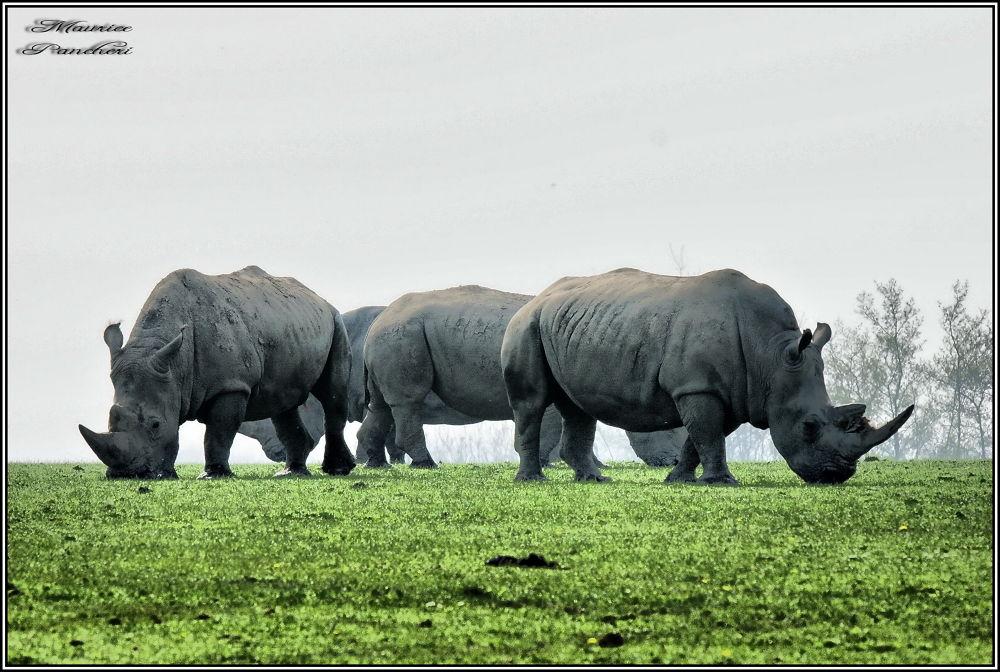 rhinocéros by mauricepancheri