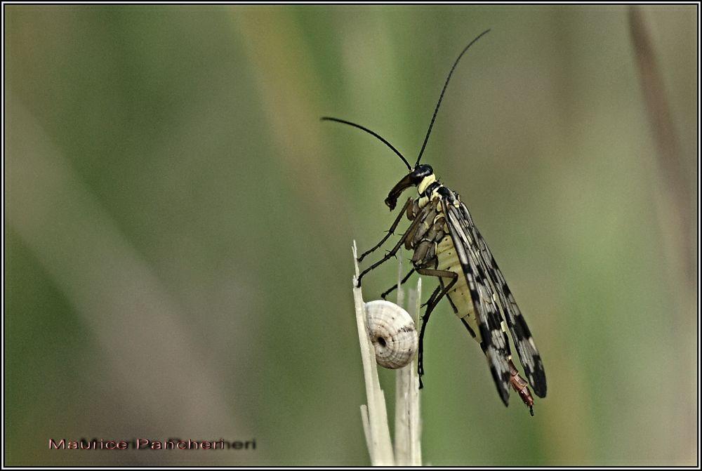 Scorpion Fly by mauricepancheri