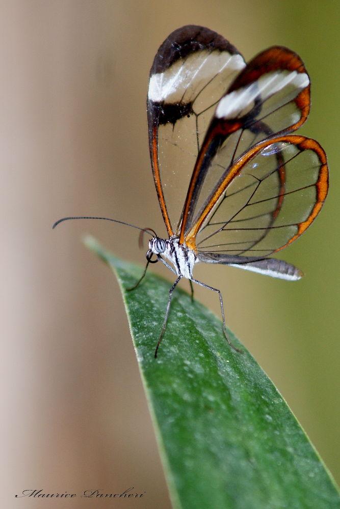 papillon by mauricepancheri