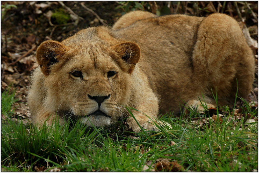 Photo in Animal #jeune lion
