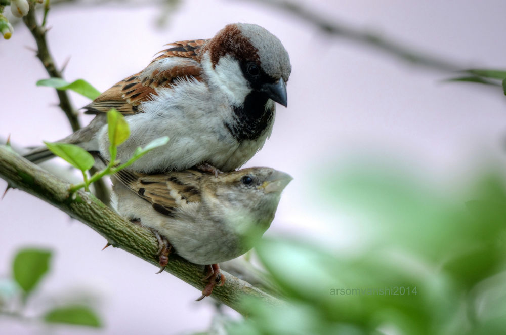 House Sparrows mating by AbhayaRajSingh