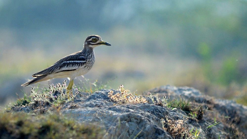 Indian Thick-knee by AbhayaRajSingh