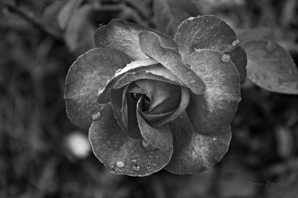 Photo in Macro #flower #rose #black
