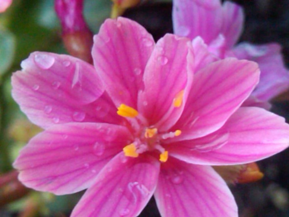 Pink Dew by Angie Hall