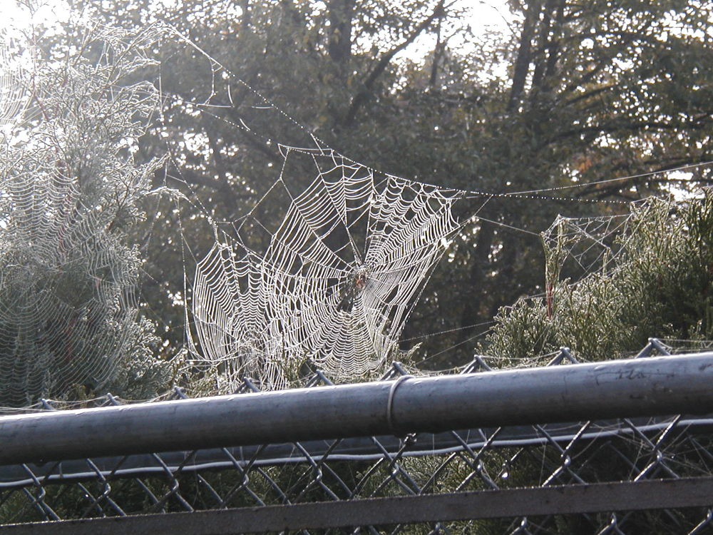 More Fence Webs by Angie Hall
