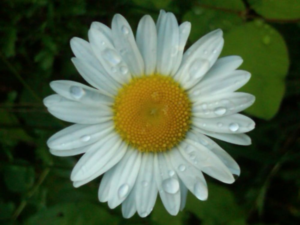 Daisy Dew by Angie Hall