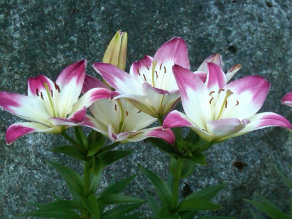 Lillies by Angie Hall