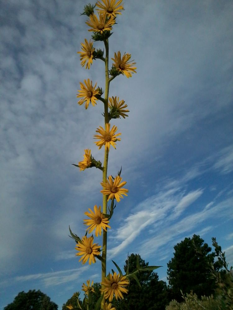 Sunflower Ladder to Heaven by Angie Hall