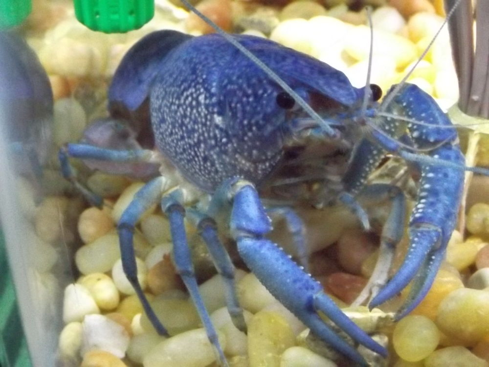 Blue Crayfish by Angie Hall