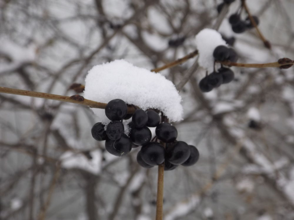"Would these be called ""snowberries""? by Angie Hall"