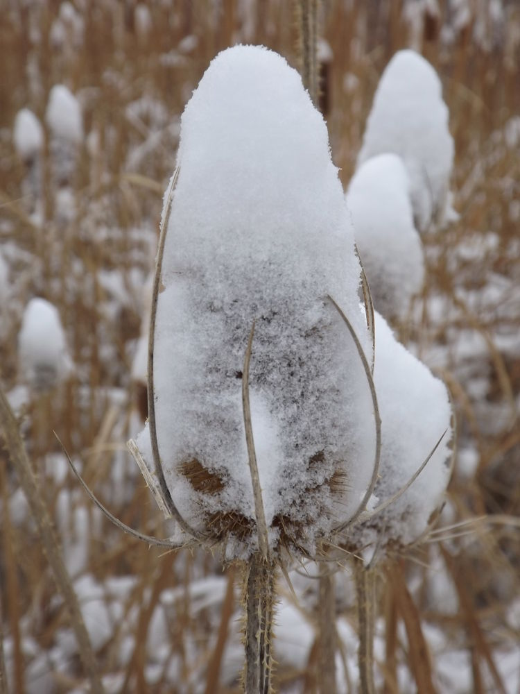 Snow covered thistle by Angie Hall