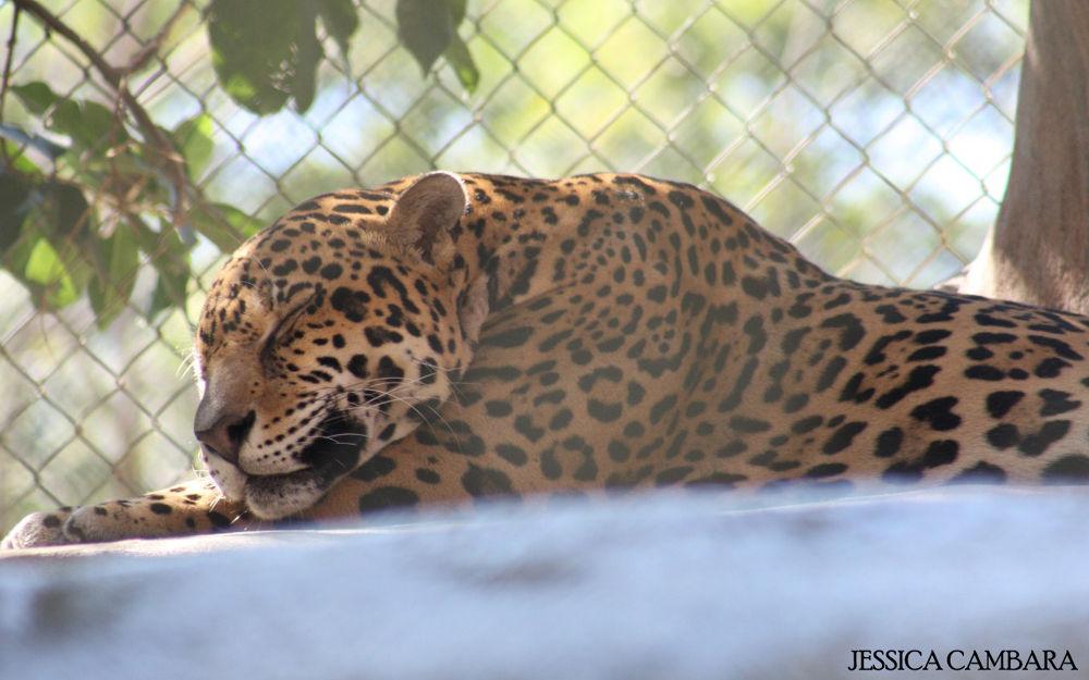 Photo in Random #jaguar