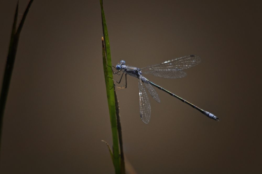 Blue Green Dragonfly by paulhamilton969952