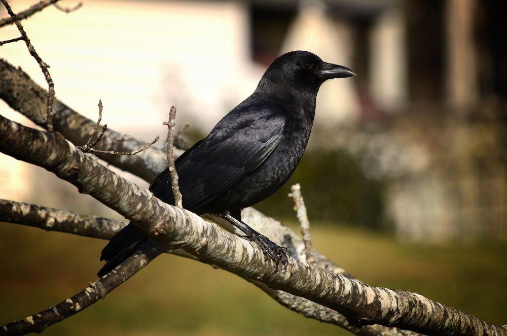 Raven by paulhamilton969952
