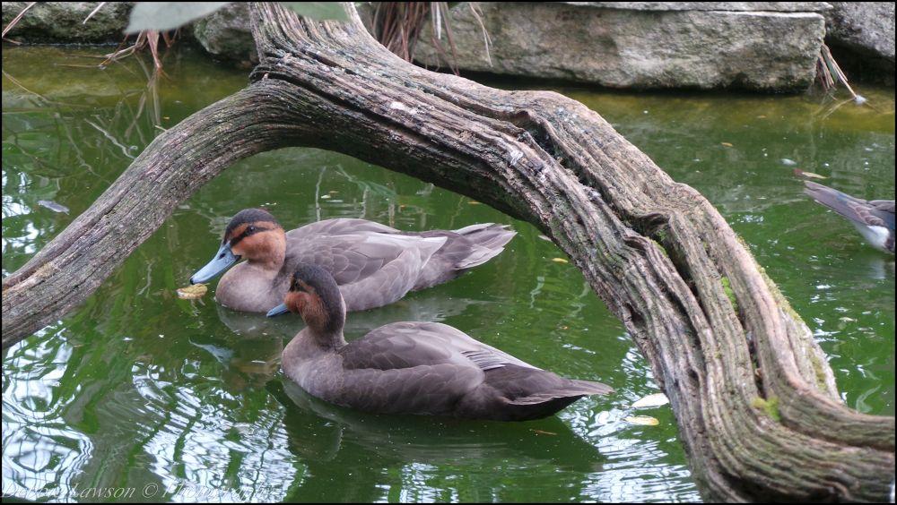 ducks by debbie lawson