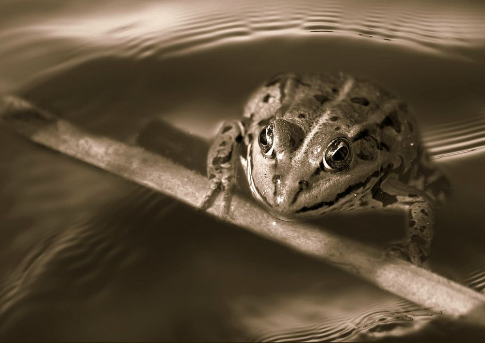 Photo in Black and White #frog #water #nature #macro
