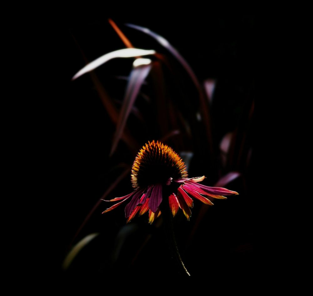 coneflower by sillitilly