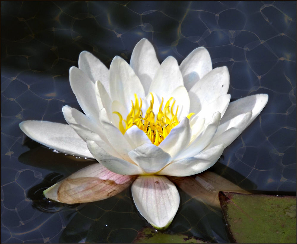 Waterlily by sillitilly