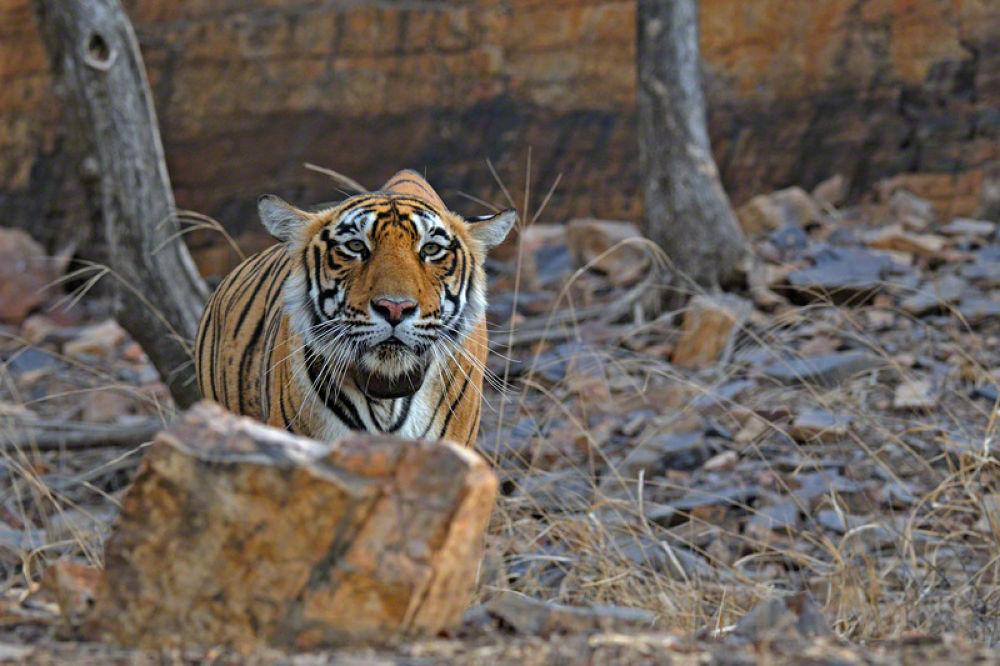 Stalking tiger in Ranthambhore national park by dickysingh