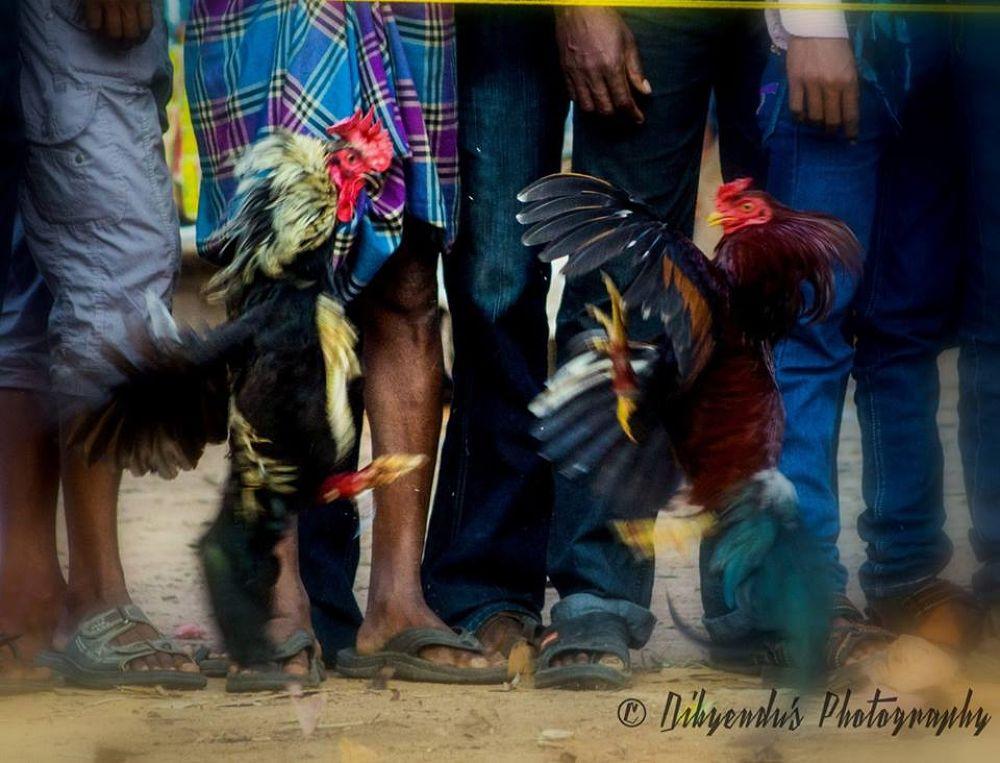 cock fight by dibyendu nath