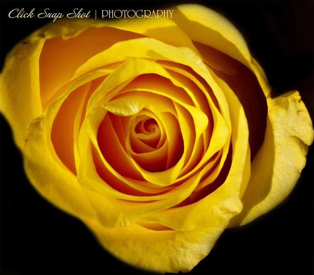 Yellow rose by clicksnapshot