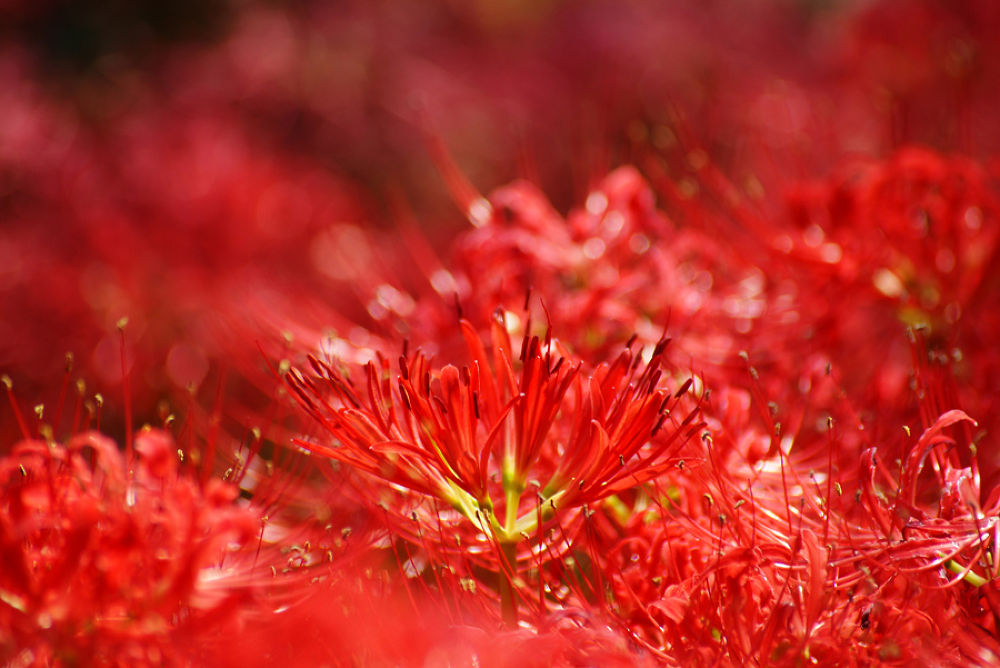 The flower which shines red by hidemikatayama