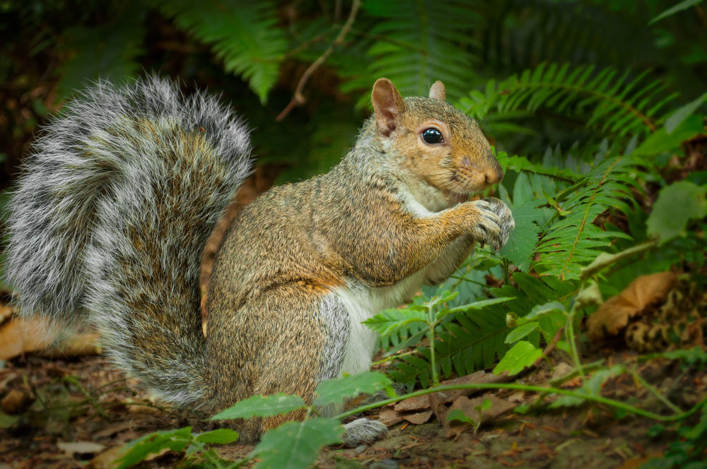 Squirrel by OriolColls