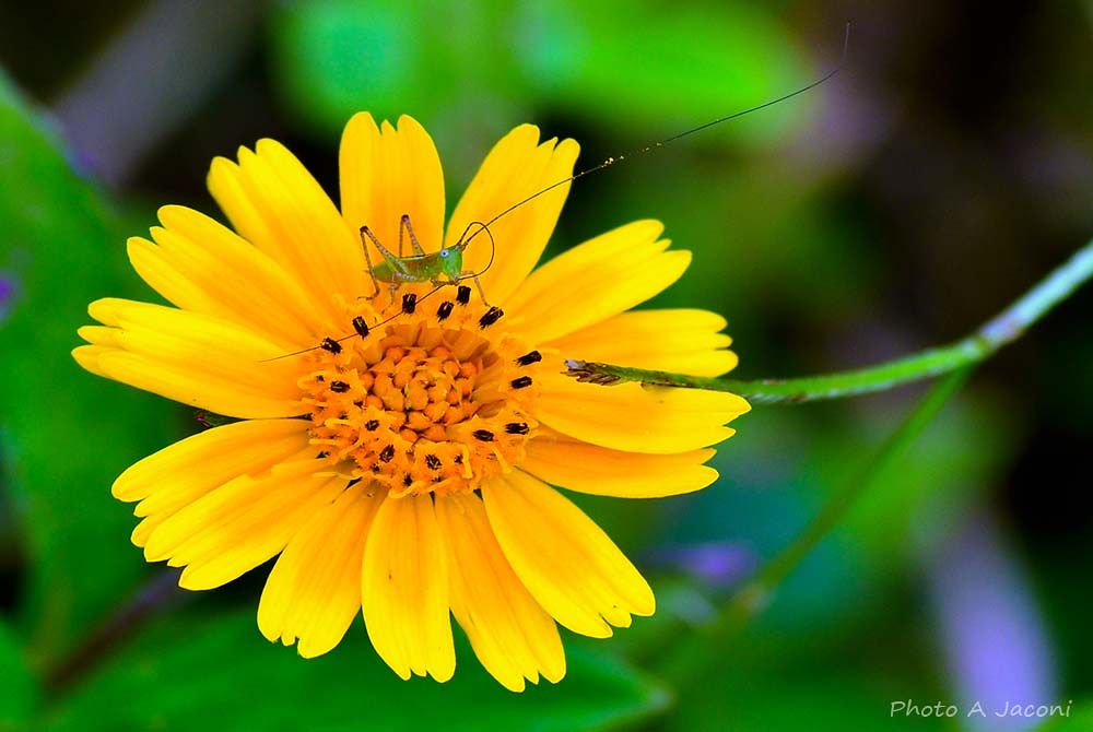 A miniscule cricket on a daisy flower in the middle of the woods. by andrejaconi