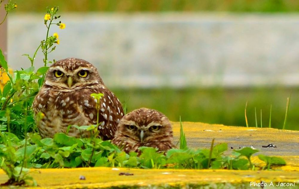 Two owls on a landing field for helicopters. by andrejaconi