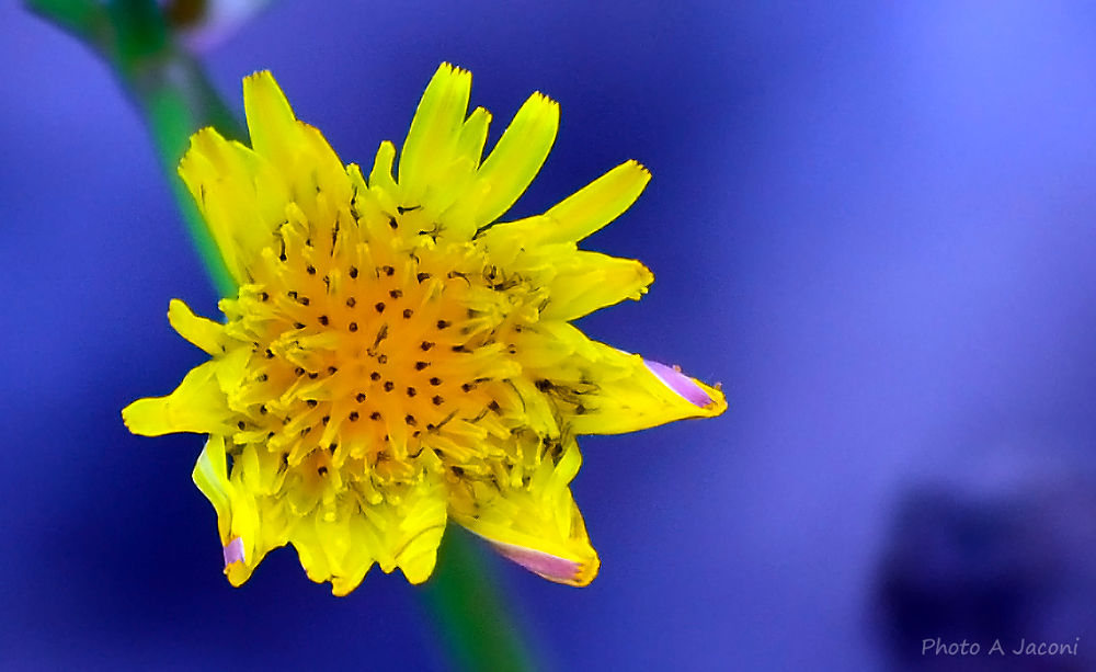 Flower by andrejaconi