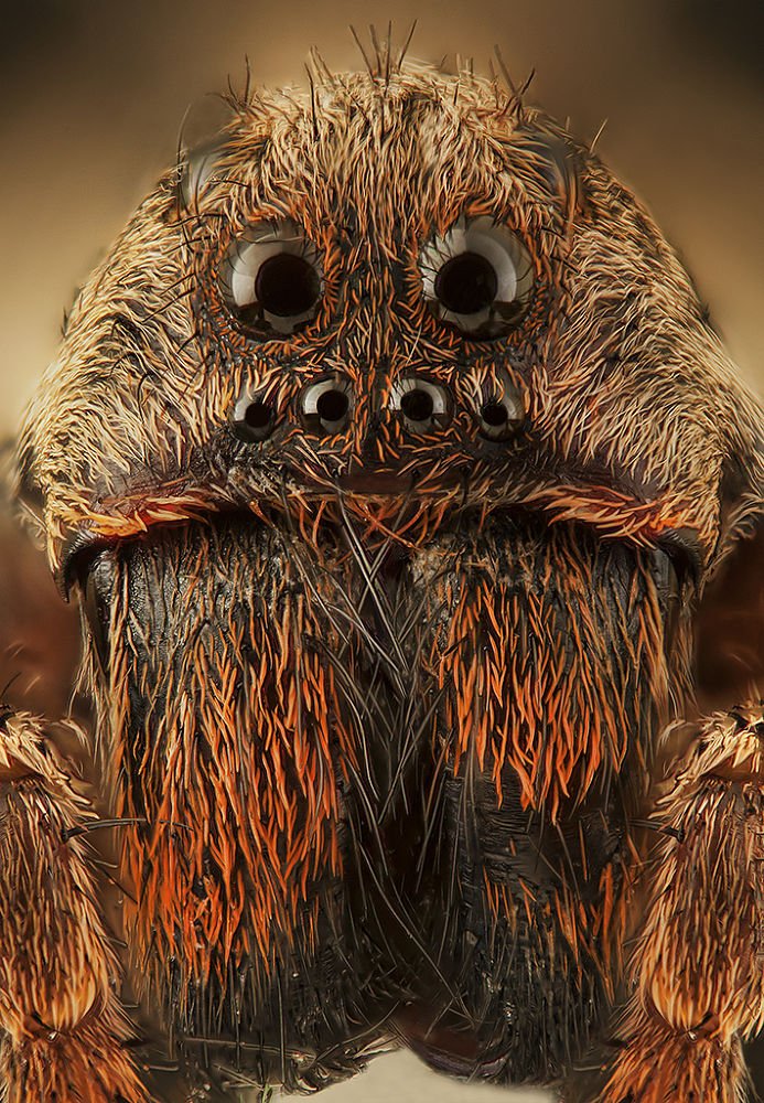 Wolf spider by Luciano Richino
