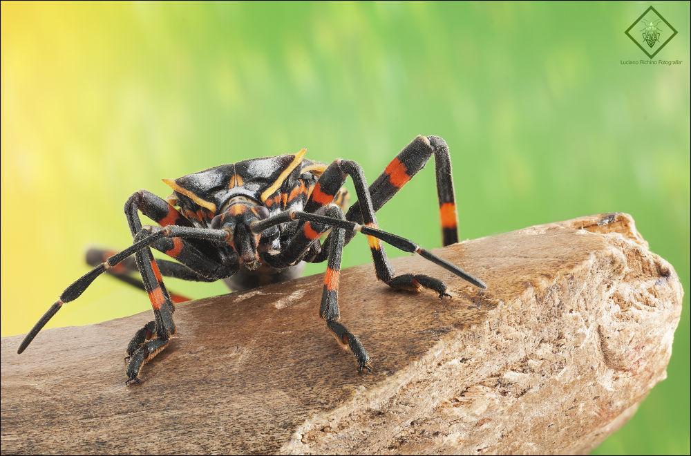Chinche (Hemiptera) by Luciano Richino