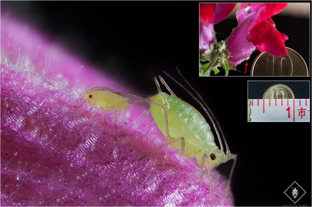 Aphididae (sample size) by Luciano Richino