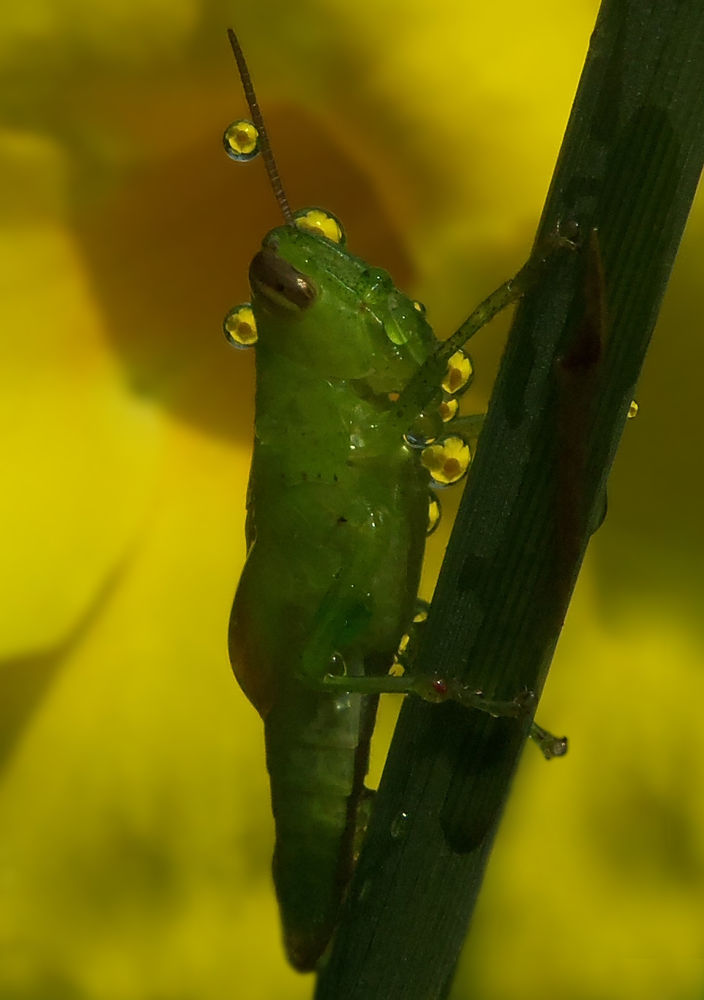 Photo in Macro #grasshoper #dew #macro #close up #nature #water drop #insect #yellow flower