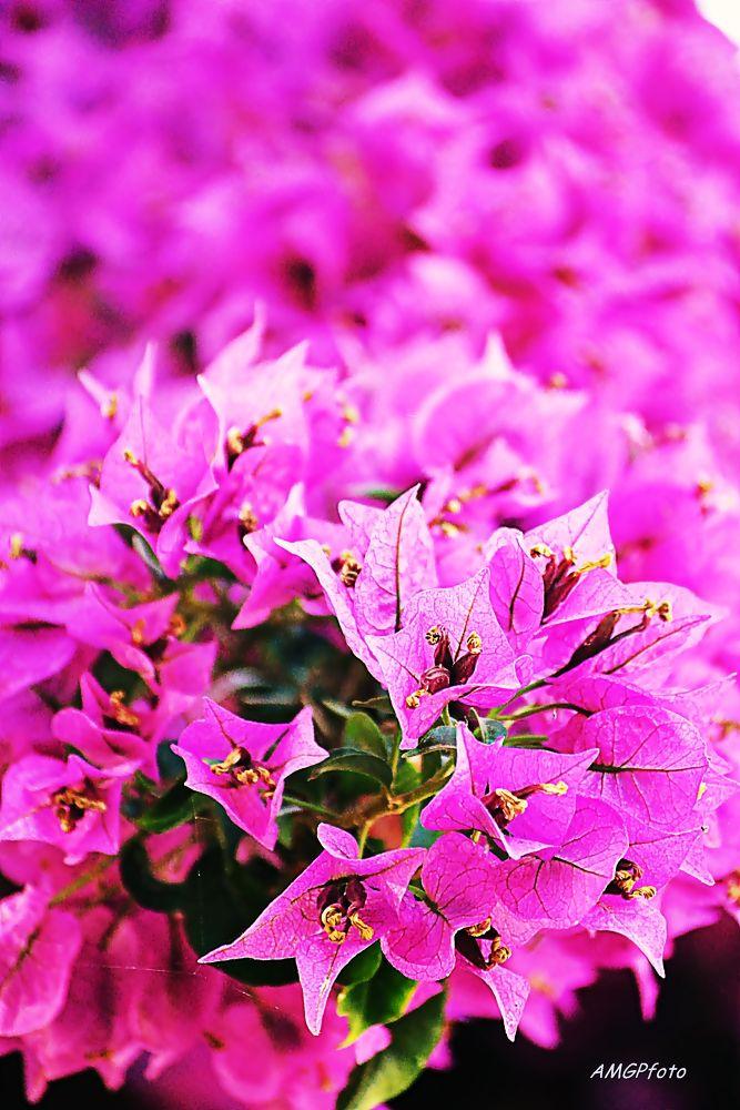 Photo in Nature #pink #rosa #flor #flower #nature #natureza #primavera #spring #garden #jardim
