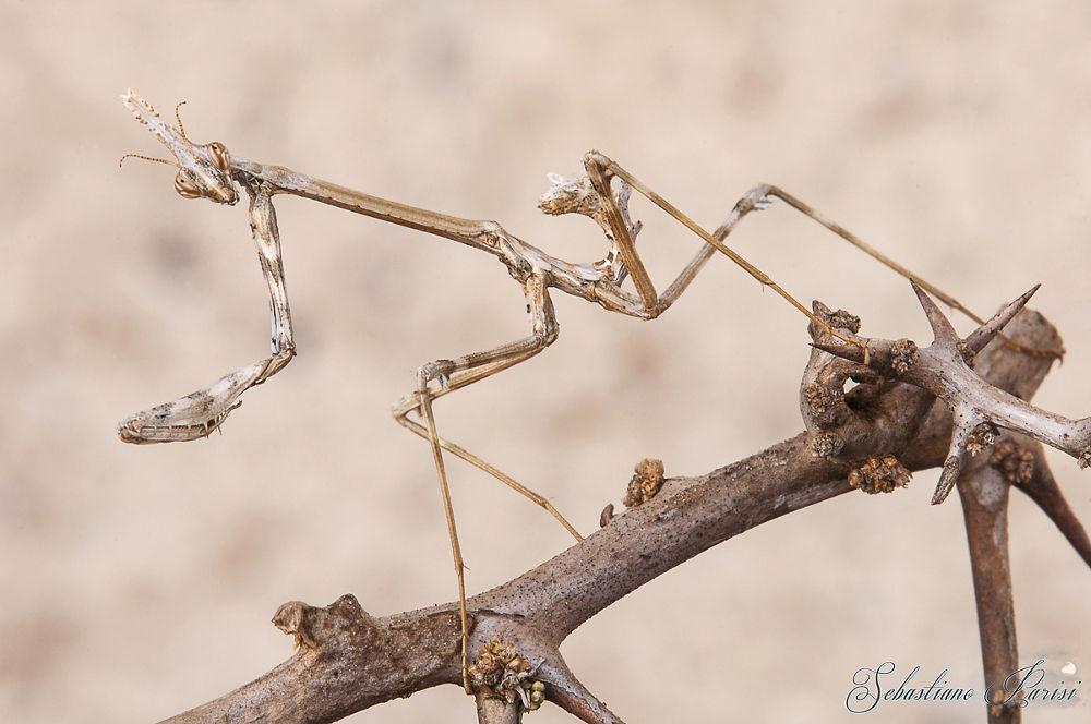 Photo in Animal #mantide #insetti #empusa pennata #alien #mimetismo