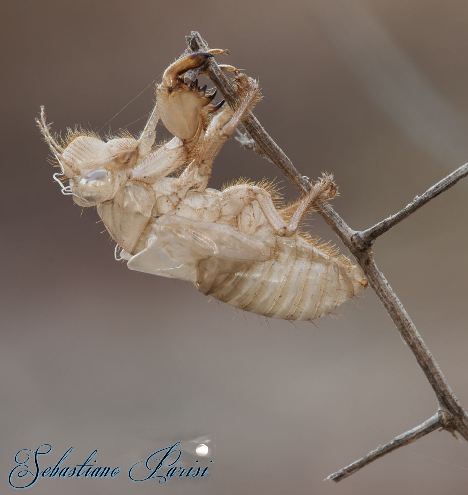 Photo in Macro #cicala #insetti