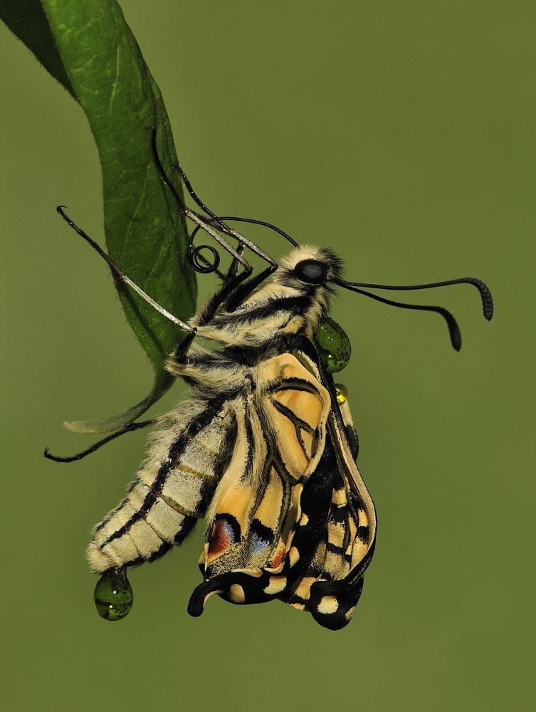 Photo in Random #macaone #nascita #primavera #farfalla #lepidottero