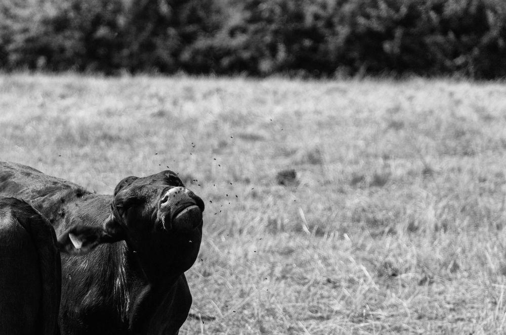 Bovine Fly by gregoir de tuit