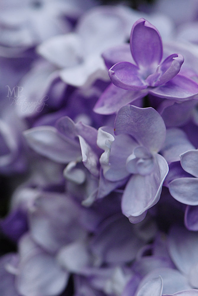 Lilac by MiriamPeuserPhotography