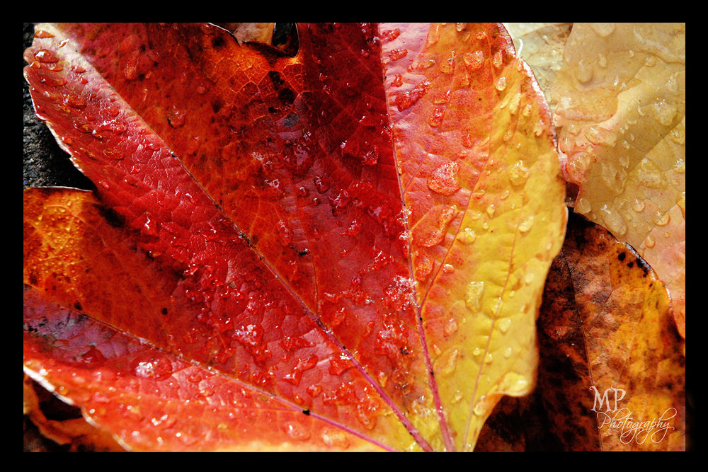 Leaves of Fire -www.facebook.com/MiriamPeuserPhotography  by MiriamPeuserPhotography