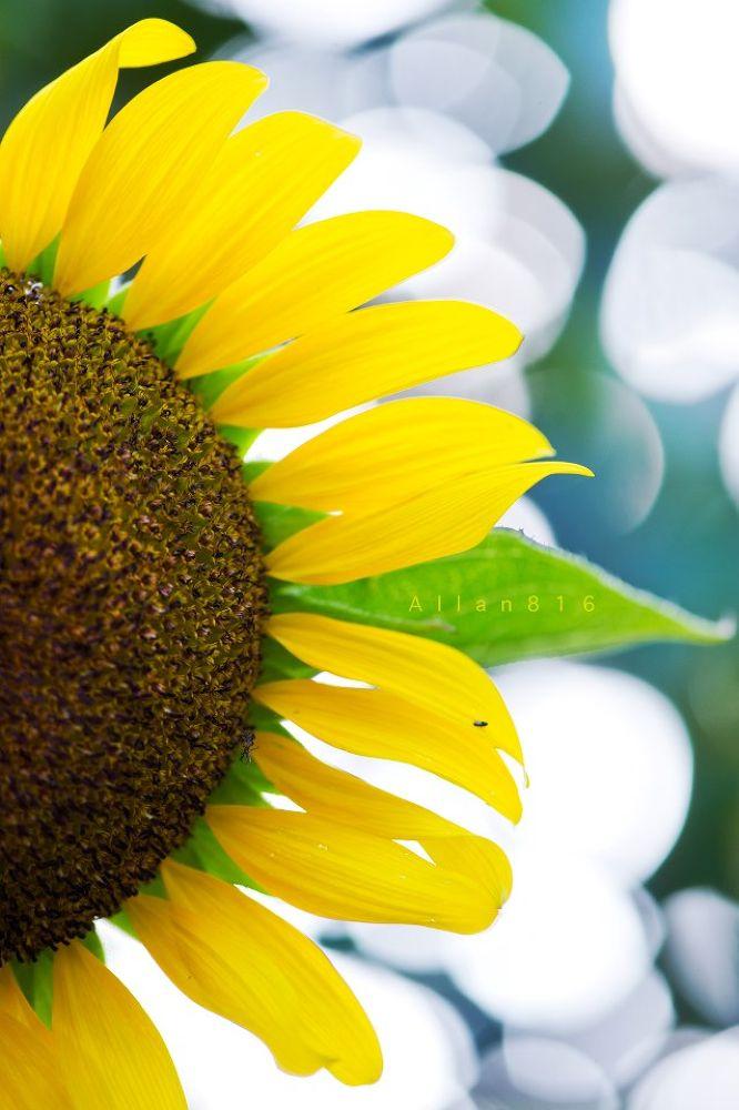 Half Sun Flower by Allan Ooi
