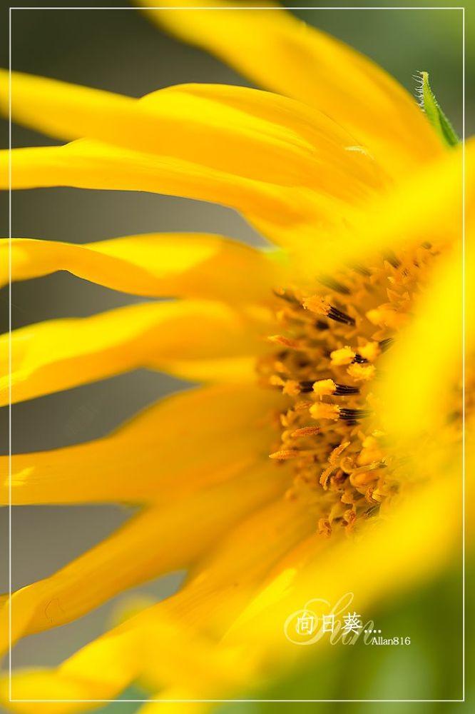 Sun FloWer by Allan Ooi